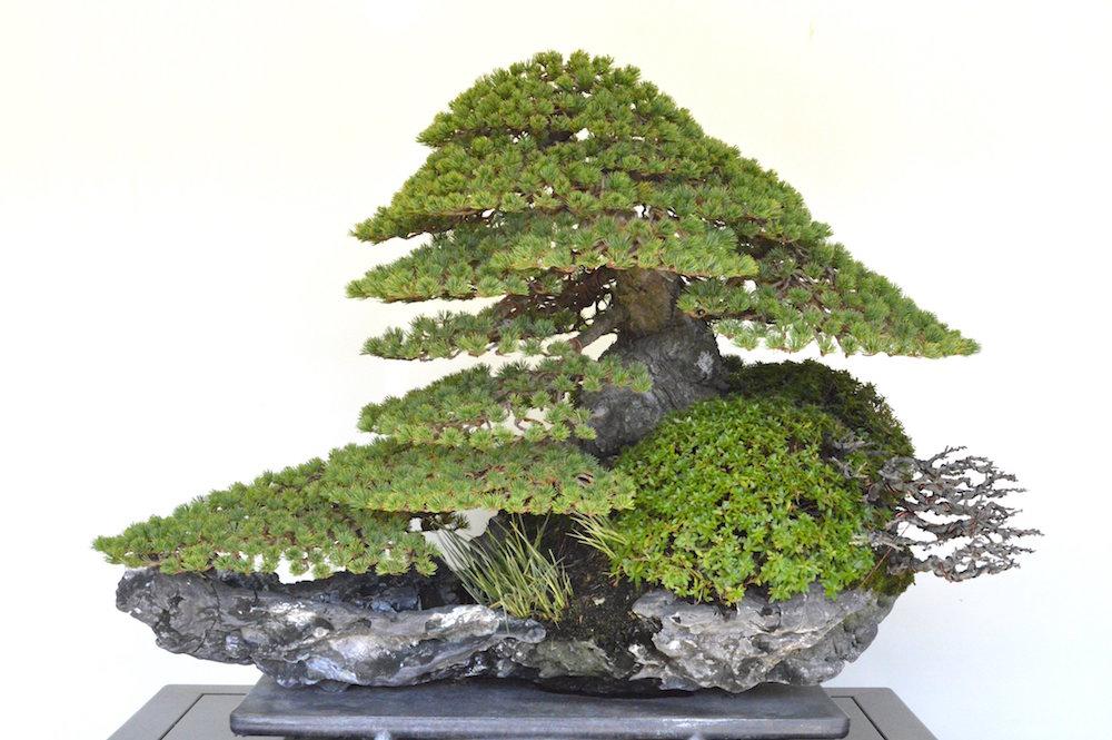 bonsai pine juara
