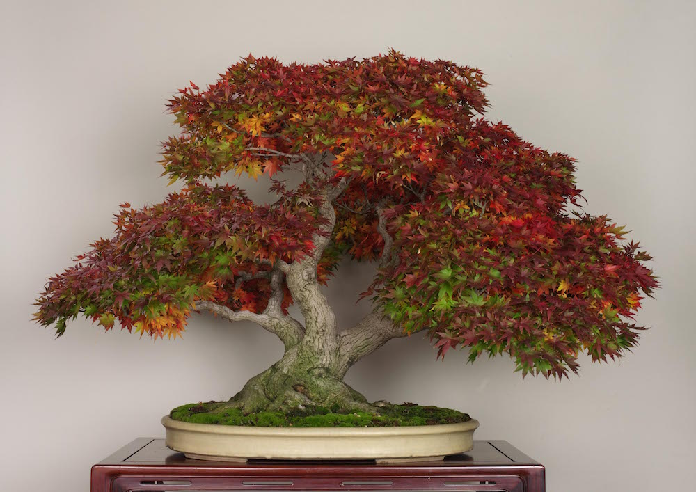 bonsai pohon maple