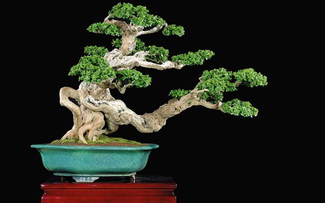 bonsai serut juara