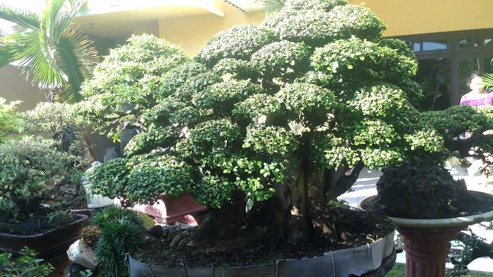 gambar bonsai serut juara