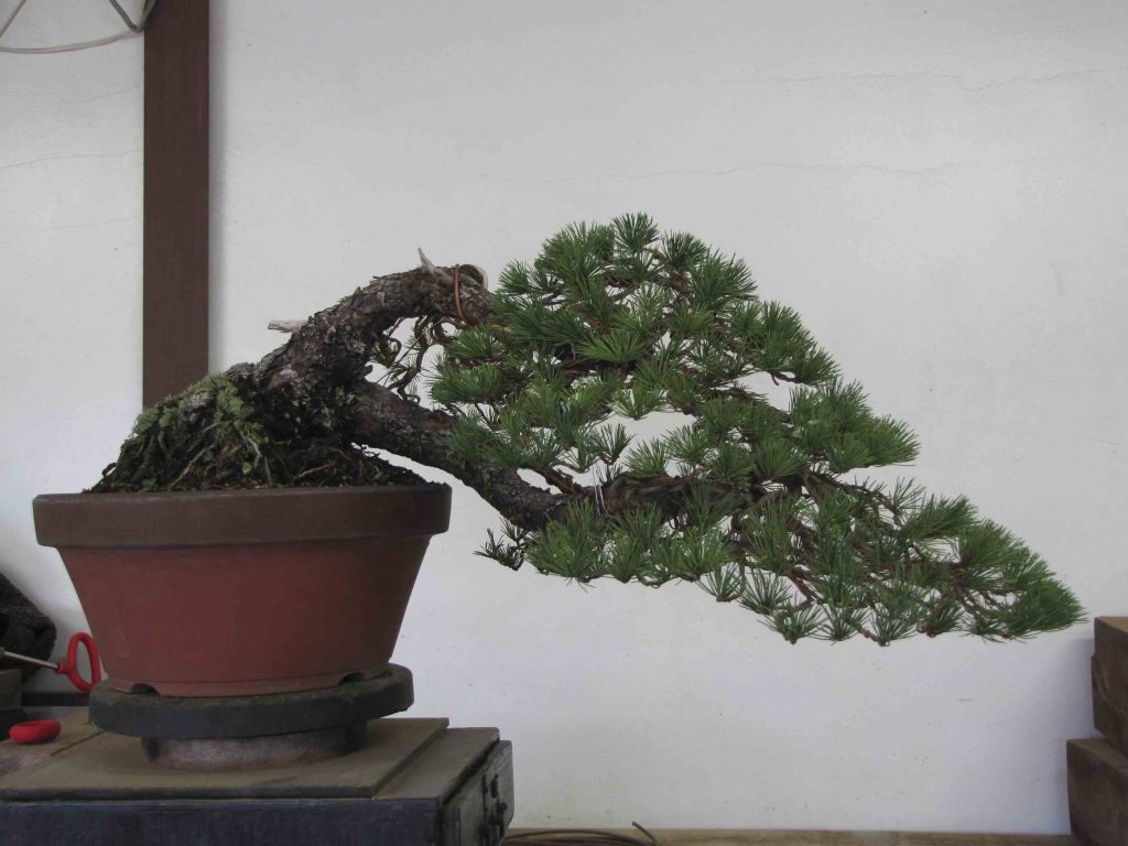 goyomatsu bonsai gaya air terjun
