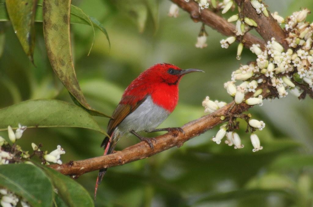Burung Madu Jawa