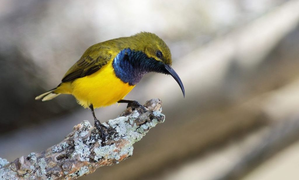 Burung sriganti, pemakan madu