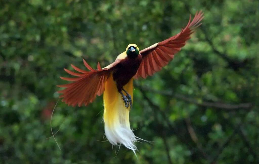 jenis burung yang dilindungi cendrawasih