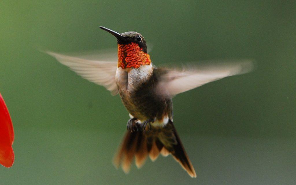 kolibri berleher rubi