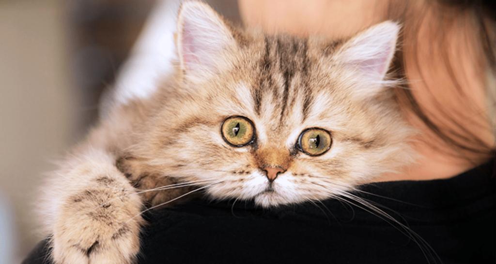 mengobati kucing batuk